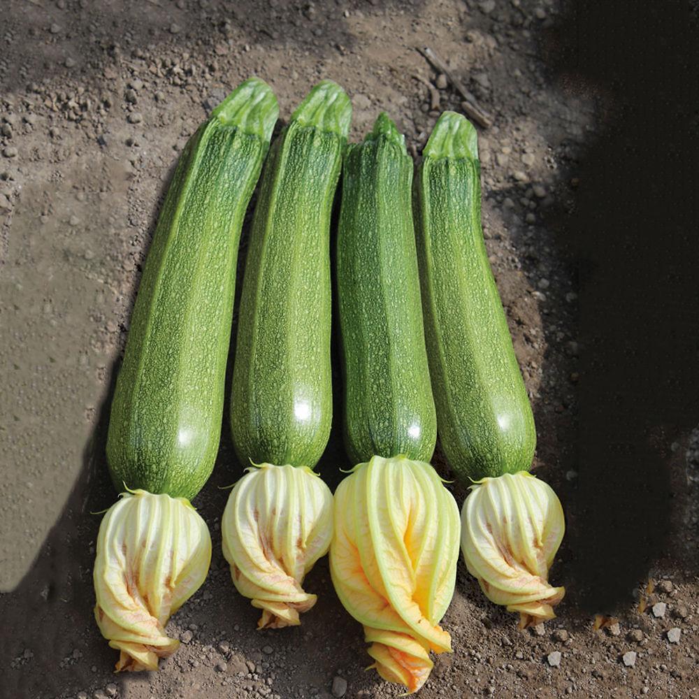 Varietà Zucchine Da Fiore zucchino san pasquale